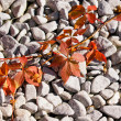 Virginia Creeper in Fall - Stock Photo