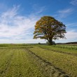 Single Oak Tree in Fields - Stock Photo