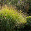 Pennisetum alopecuroides - Stock Photo