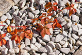 Virginia Creeper in Fall — Stock Photo