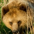 Brown Bear Close Up — Stock Photo