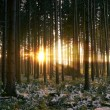 Sunset in snowy Spruce Forest — Stock Photo
