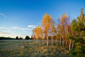 Birch Trees in Autumn — Stock Photo