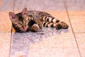 Bengal kätzchen liegend am boden spielen — Stockfoto