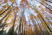 Beech Tree Forest in Autumn — Stock Photo