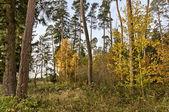 Looser Tree Population in Autumn — Stock Photo