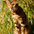 Bengal Cat on the Watch — Stock Photo