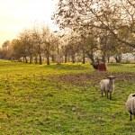 Sheeps in Farm Garden — Stock Photo #14938579