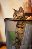 Bengal Cat plying in Recycle Bin — Stock Photo