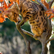Bengal Cat climbing in small Tree — Stockfoto #16232075