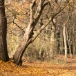 Old Trees in autumnal Forest — Stock Photo