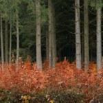 hayedo joven creciendo bajo el viejo bosque de abeto — Foto de Stock