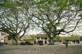 Rain Trees Samanea saman — Stock Photo
