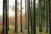 Fichte und schotten pinienwald — Stockfoto