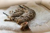 Bengal Cat and Kitten sleeping on Sofa — Stock Photo