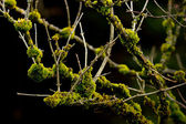 Moss on Branches of a Bush — Stock Photo