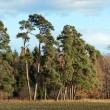 Stock Photo: Forest Pines