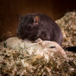 Gerbils cuddling — Stock Photo