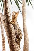 Bengal Cat climbing on Tree — Stock Photo