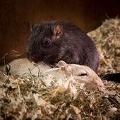 Gerbils cuddling — Stock Photo