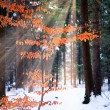 Beech Tree in Winter Forest — Stock Photo