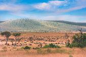 Gnus and Zebras in Masai Mara — Stock Photo