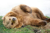 Brown Bear lying in Grass — Stock Photo