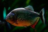 Piranha — Stock Photo