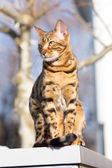 Bengal Cat in the Sun — Stock Photo