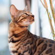 Bengal Cat attentive looking — Foto Stock