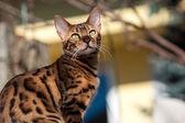 Bengal Cat in the Garden — Stock Photo