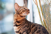 Bengal Cat attentive looking — Stock Photo