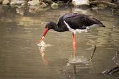 Black Stork with Prey — Stock Photo