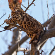 Stock Photo: Bengal Kitten climbing Tree