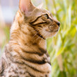 Bengal looking attentive — Stock Photo