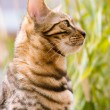 Bengal looking attentive — Stock Photo #24577655