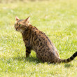 Foto de Stock  : Bengal looking warily looking