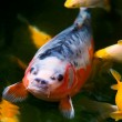 Stock Photo: Koi Shusui