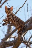 Bengal Kitten climbing an Tree — Stock Photo