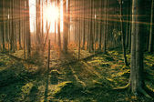 Sunset in Spruce Forest — Stock Photo