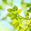 Stock Photo: Spring green Leafs - defocused Background