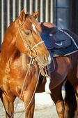 Quarter Horse ready to go — Stock Photo