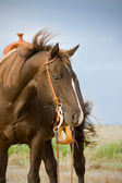 Quarter Horse — Stock Photo