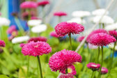 Fiore margherita bella — Foto Stock