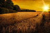 Wheat Ripening in Late Summer Sun, Shropshire — Stock Photo