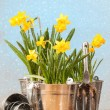 jonquilles de printemps — Photo