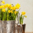 ストック写真: Buckets Of Daffodils