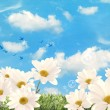 Summer Daisies - Stock Photo