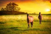 Horses At Sunset — Stock Photo