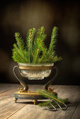 Sprigs Of Pine Tree — Stock Photo
